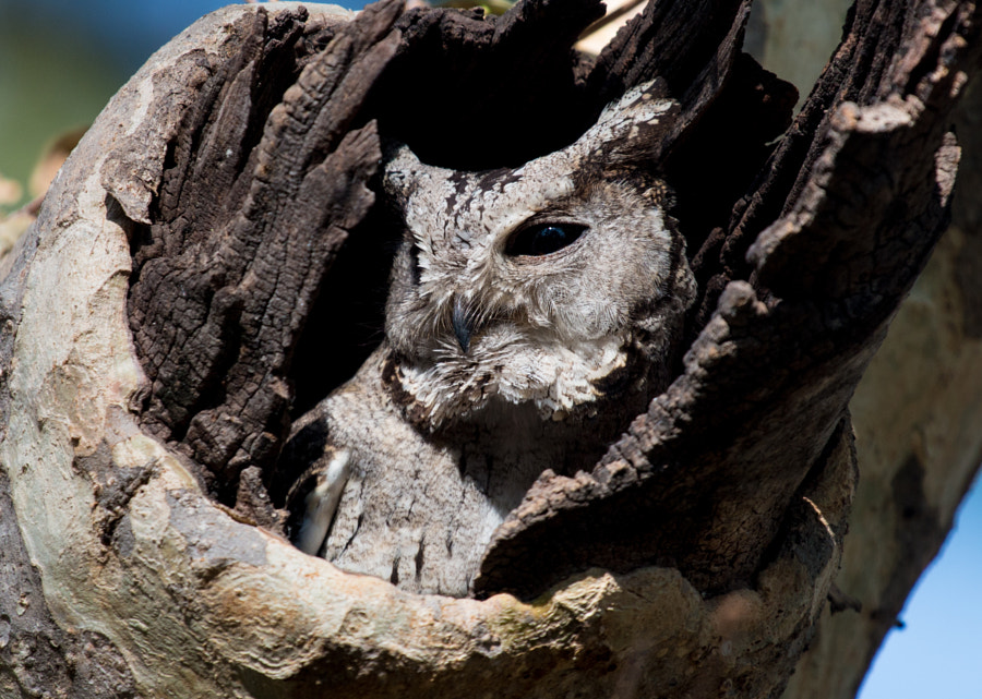 Dissim-Owl-ation!