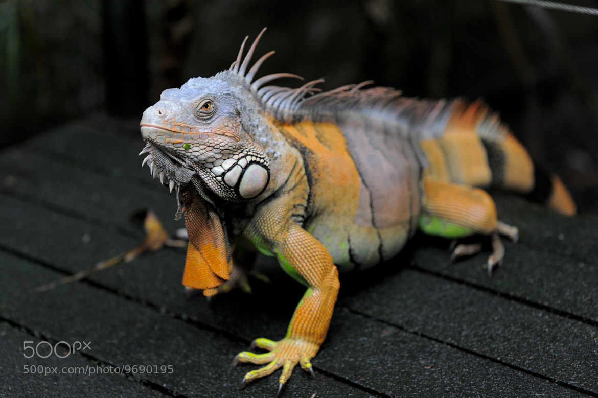 Photograph Iguana (鬣蜥) by Eddie Cheng on 500px
