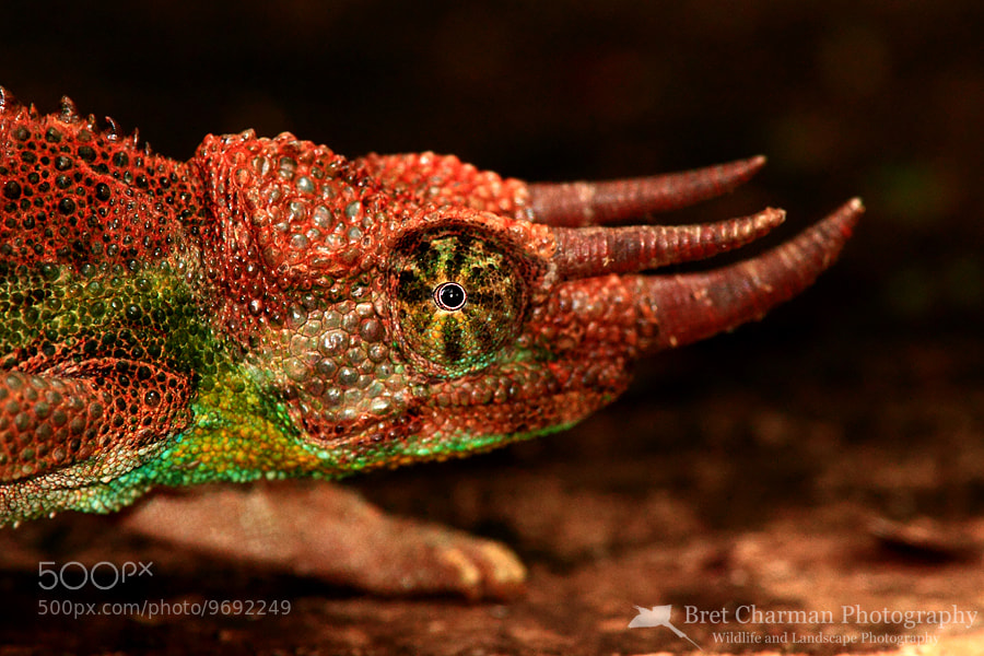 Photograph Jackson's Chameleon by Bret Charman on 500px