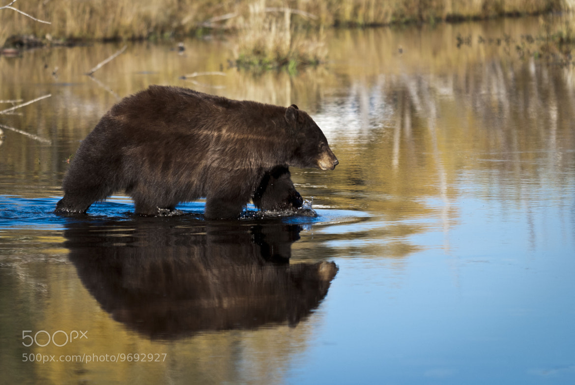 Photograph Bear Reflections by Debbie Tubridy on 500px