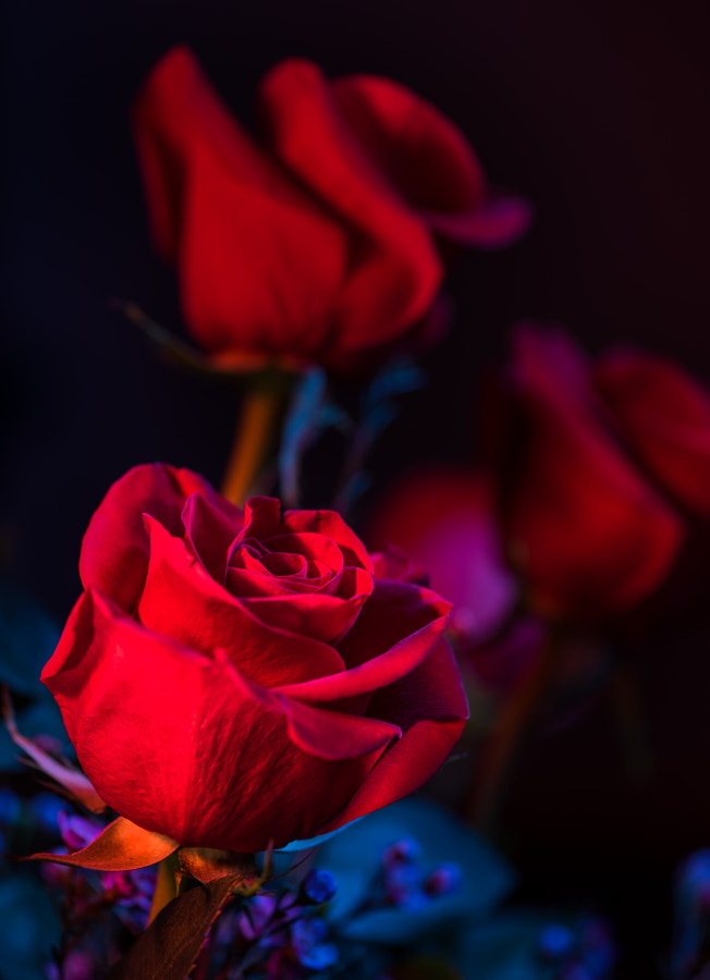 Photograph 10th Anniversary Roses 2 by Jay Scott on 500px