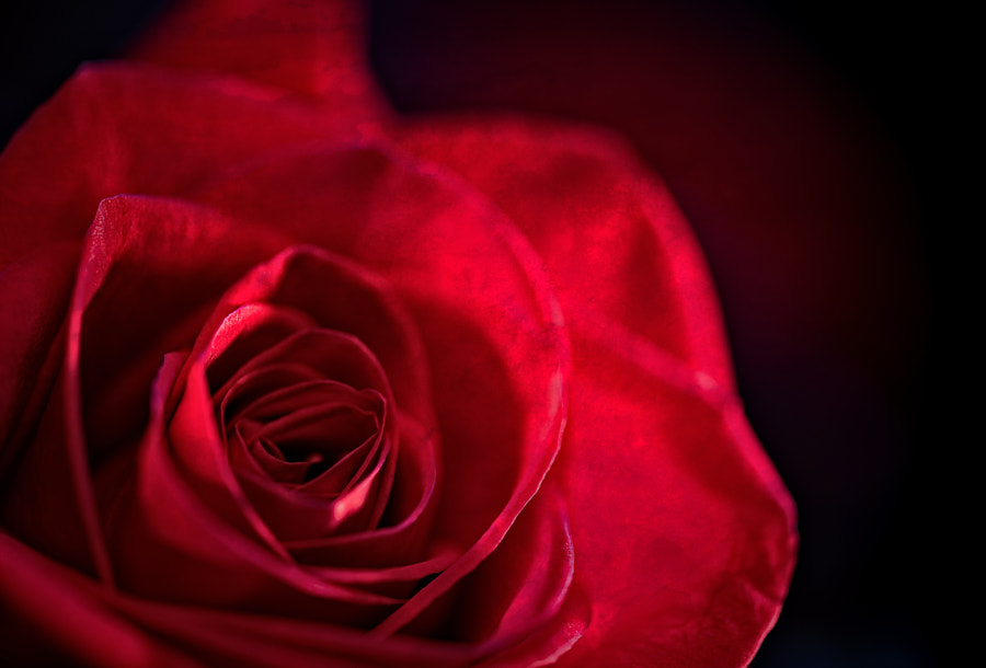 Photograph 10th Anniversary Roses 3 by Jay Scott on 500px
