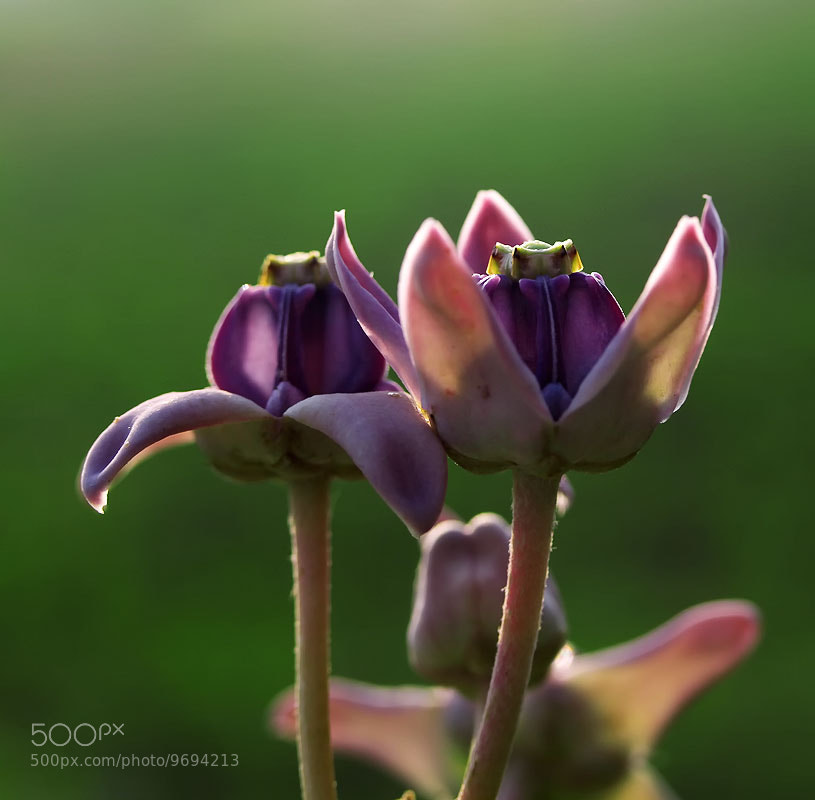 Photograph A couple of violet by Diens Silver on 500px