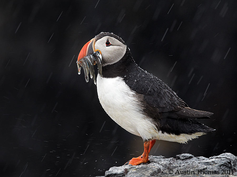 A Puffin in the rain