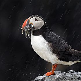 A Puffin with sand eels in the pouring rain.