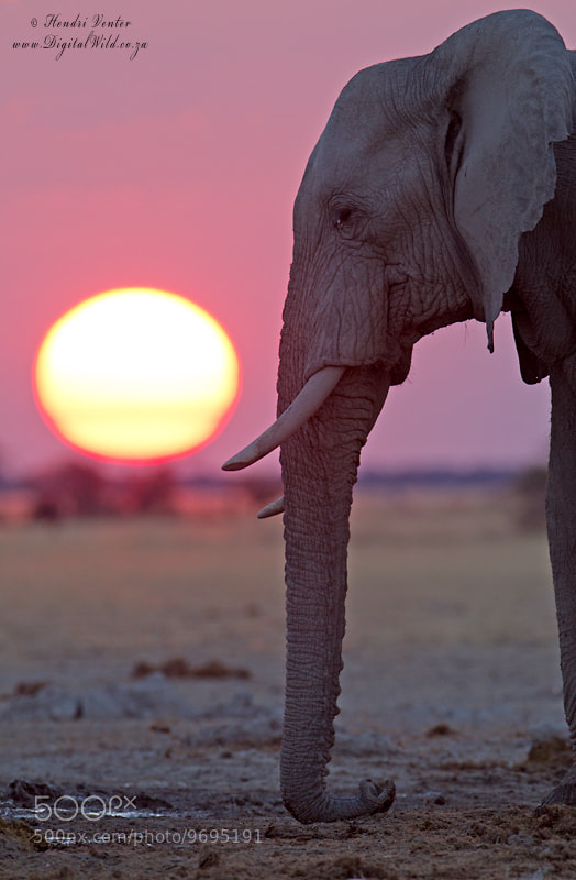Photograph Elephant communicating @ sunset by Hendri Venter on 500px