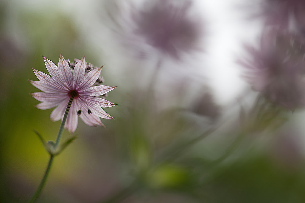 Photograph Astrantia major by Allan Wallberg on 500px