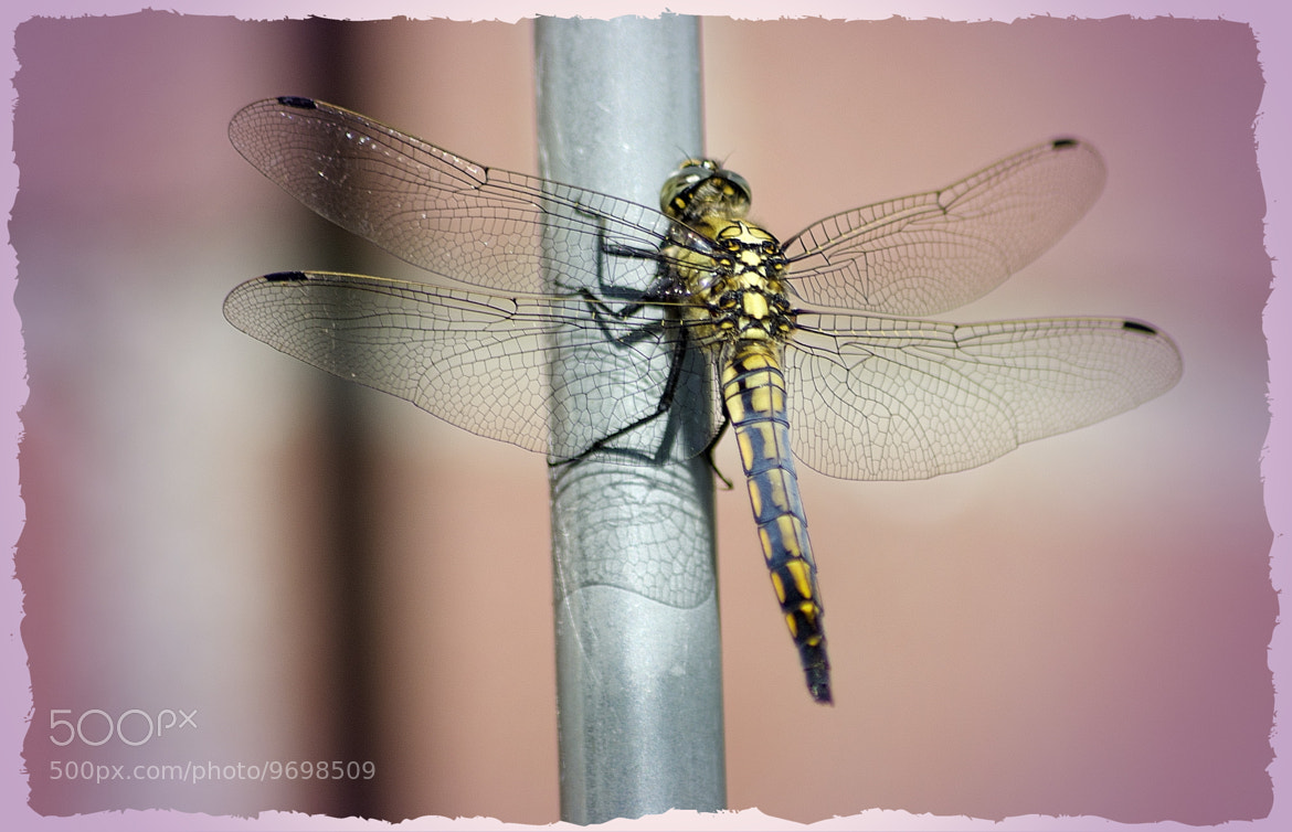 Photograph Dragonfly by Ton   lع Jeune on 500px