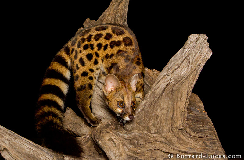 A Rusty-spotted Genet in the Masai Mara, Kenya. We took this shot at night using a remote camera. To create the soft lighting we had to improvise... we bounced the flash light off a pillow!