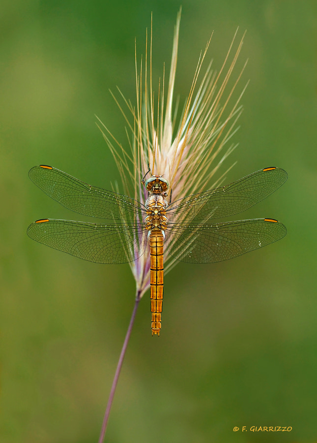 Photograph Golden dragonfly by Fabio Giarrizzo on 500px