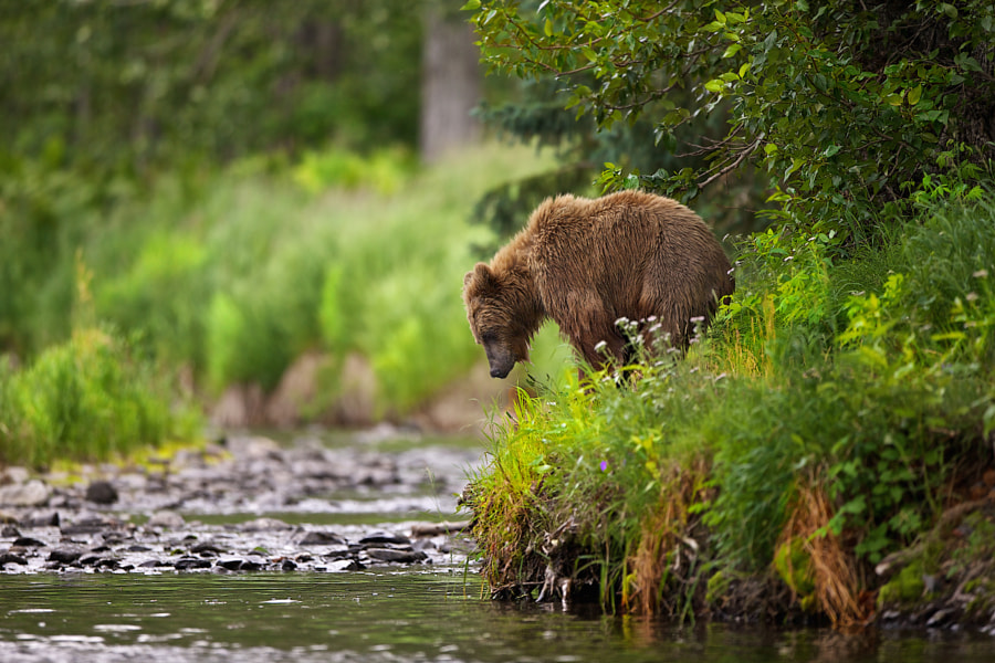 The Search For Salmon by Buck Shreck on 500px.com