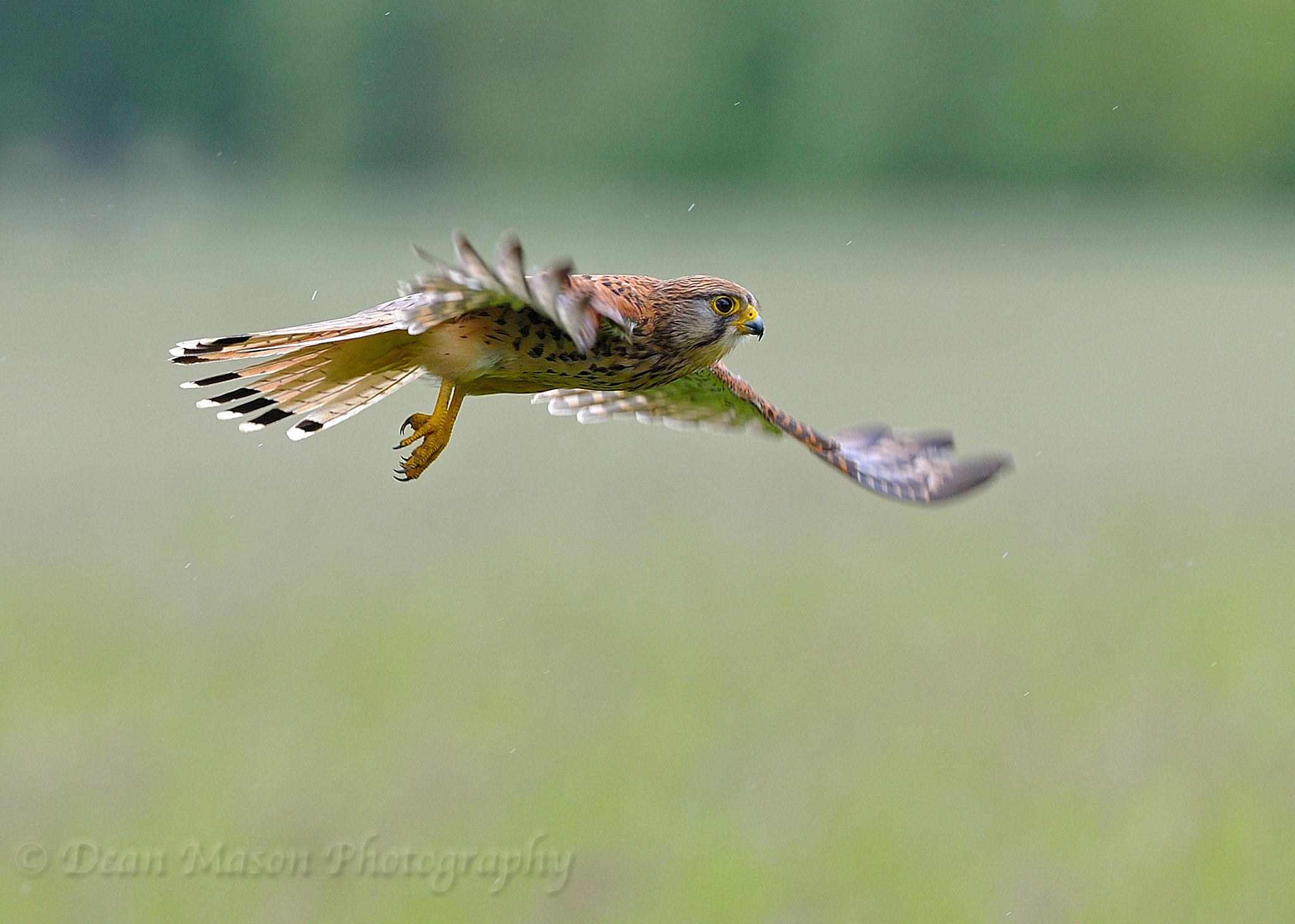 Photograph Kestrel in the Rain by Dean Mason on 500px