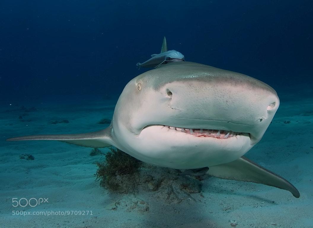Photograph Lemon Shark by Francisco Javier Parrilla on 500px