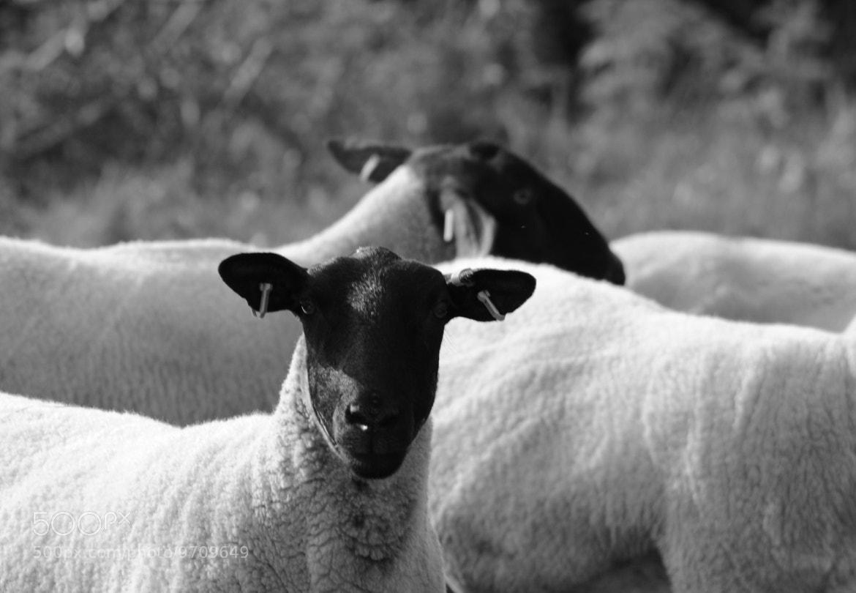 Photograph Sheep by julian john on 500px