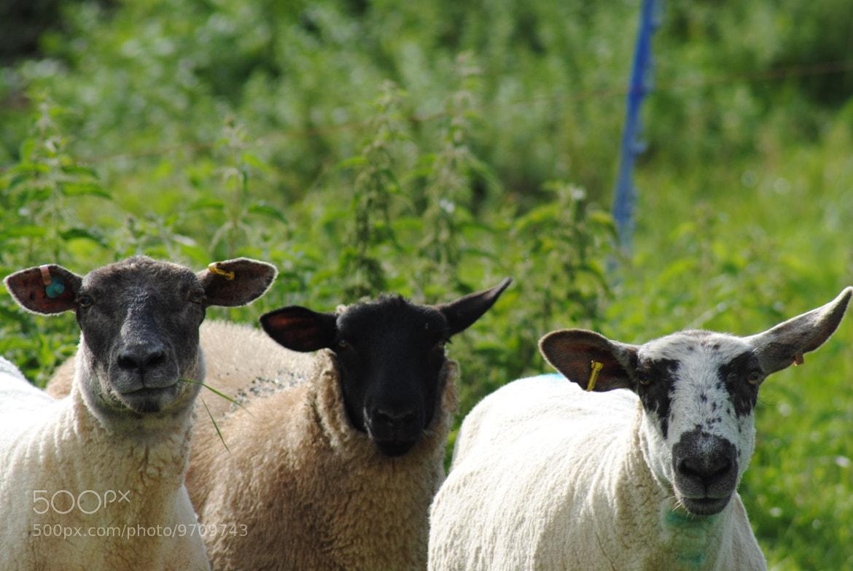 Photograph Sheep II The Sequel by julian john on 500px