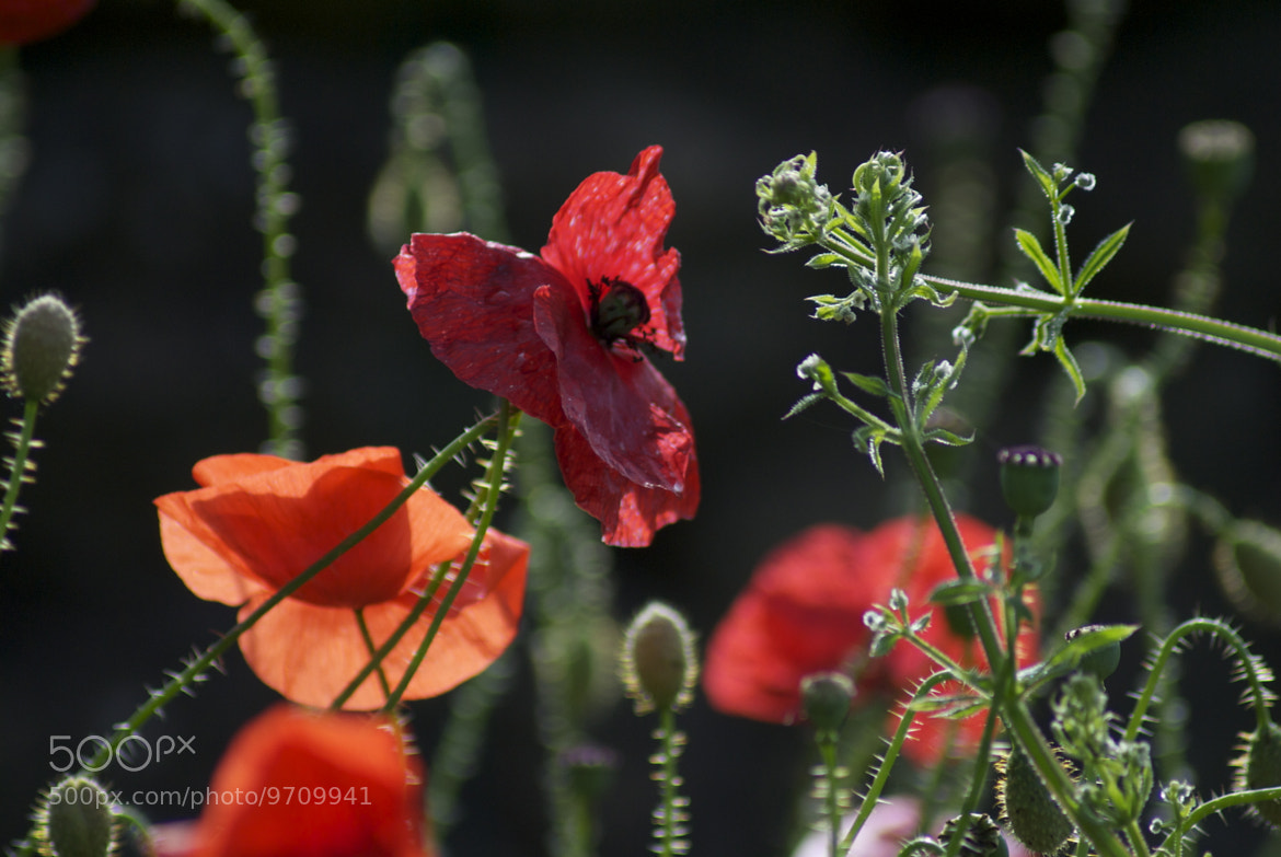 Photograph Fleeting Poppies by julian john on 500px