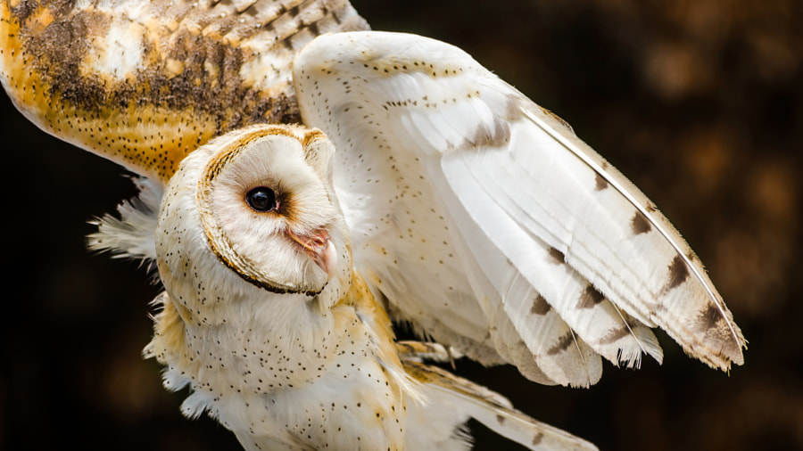 Angelic Owl by Nathan Sedlak on 500px.com