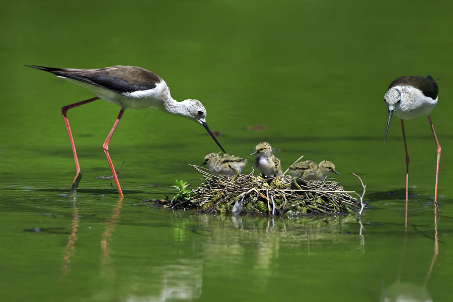 Photograph Black-winged Stilts by Alessandro Terzi on 500px
