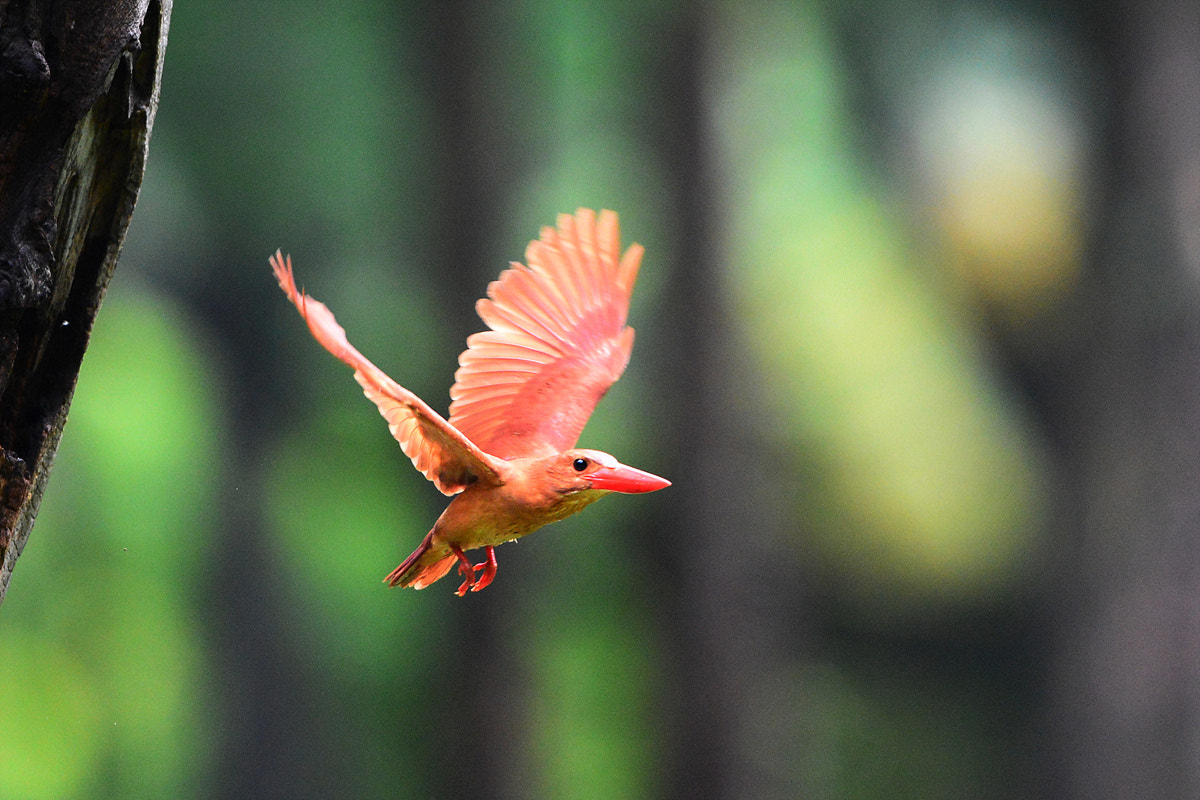 Photograph Ruddy Kingfisher by Young Sung Bae on 500px