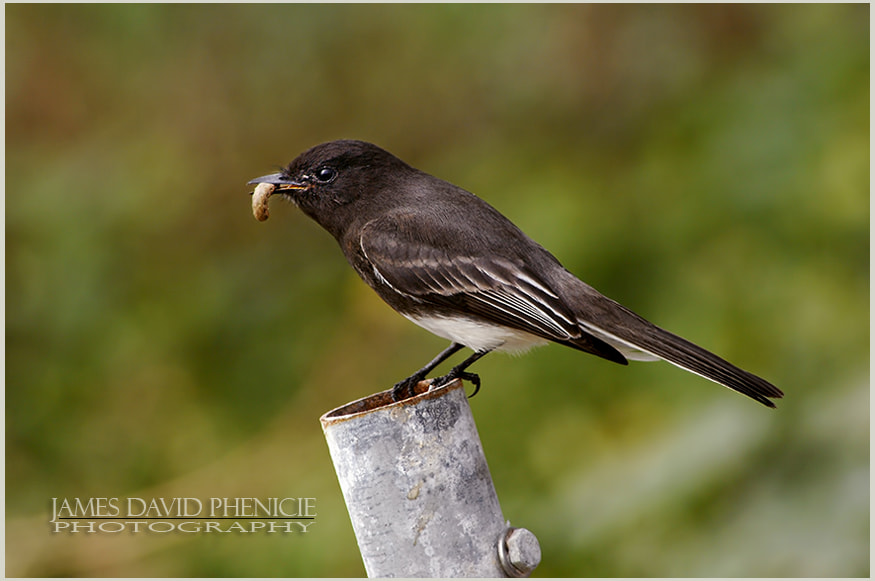 Black Phoebe with Insect