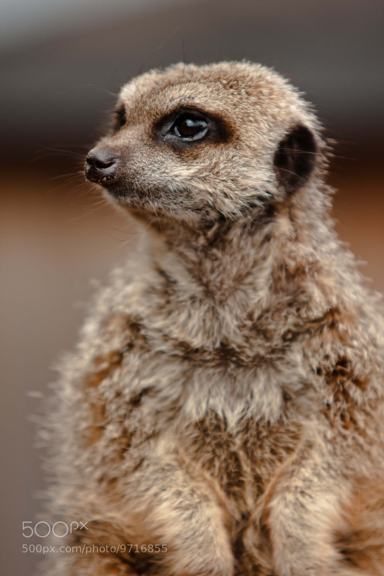 Photograph Meerkat by Kirsty Burge on 500px