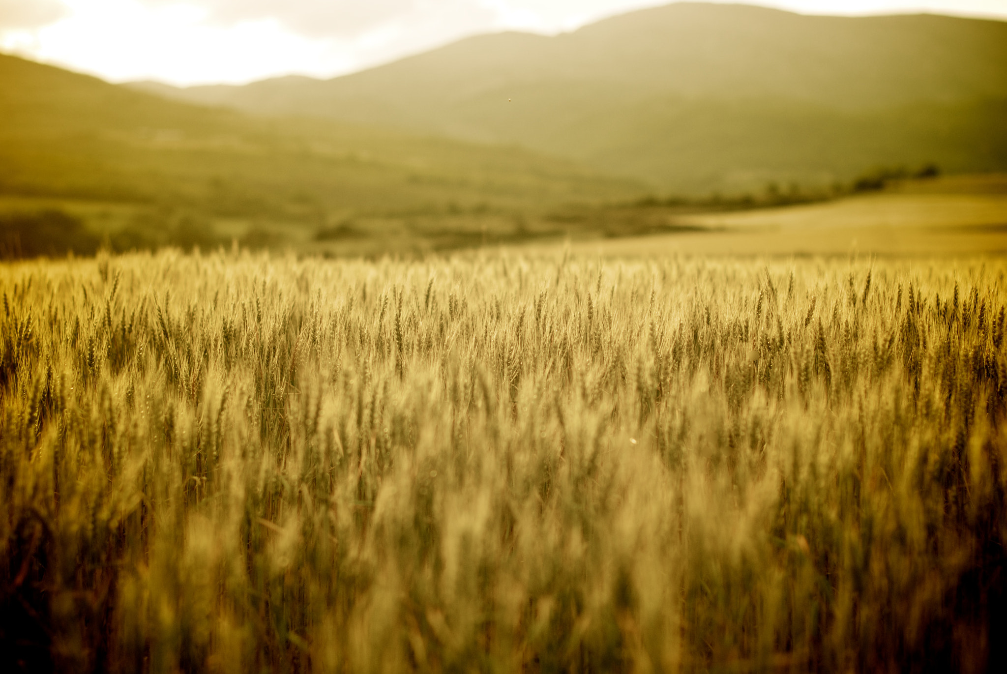 Photograph golden wheat by Abel Vilches Prat on 500px
