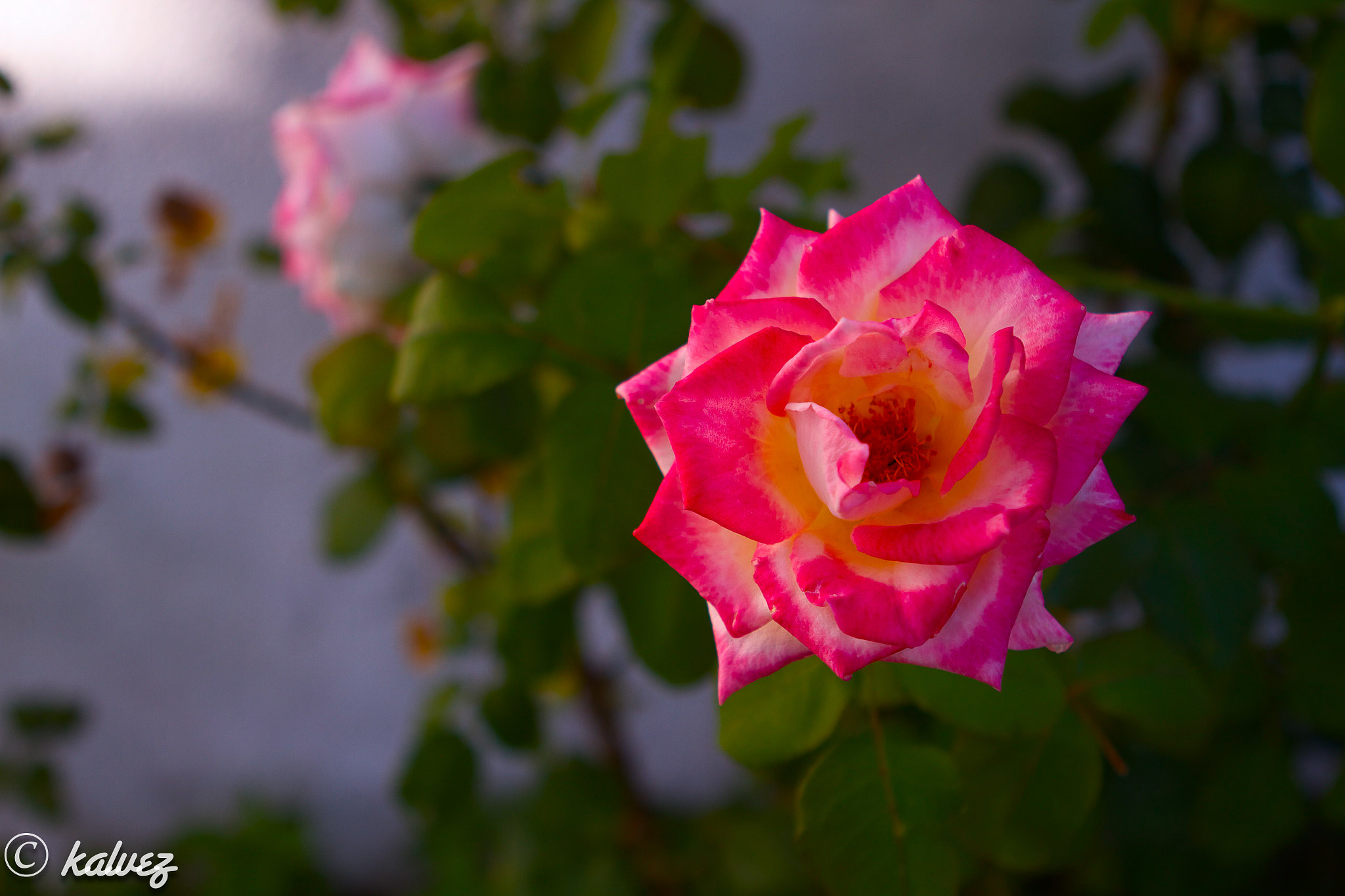 Photograph OTHER FLOWER by Carlos Alves on 500px