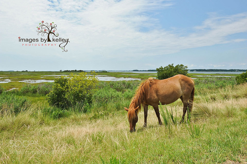 Photograph Assateague pony by Kelley Nelson on 500px