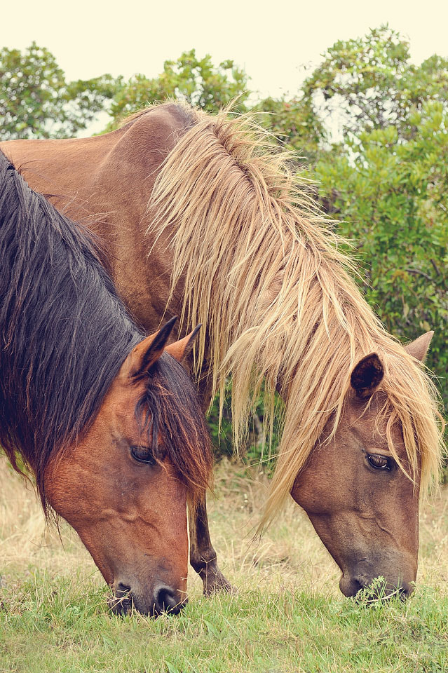 Photograph Assateague ponies by Kelley Nelson on 500px