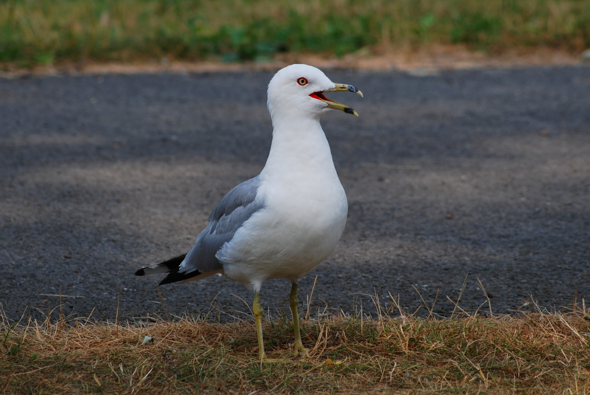 Photograph Why did the Seagull cross the Road? by Matt Becker on 500px