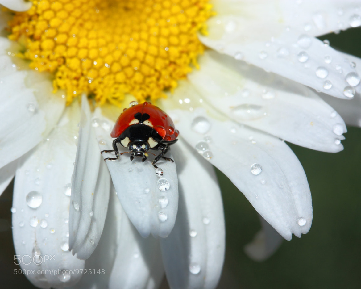Photograph Lady Bug by Les Wynn on 500px