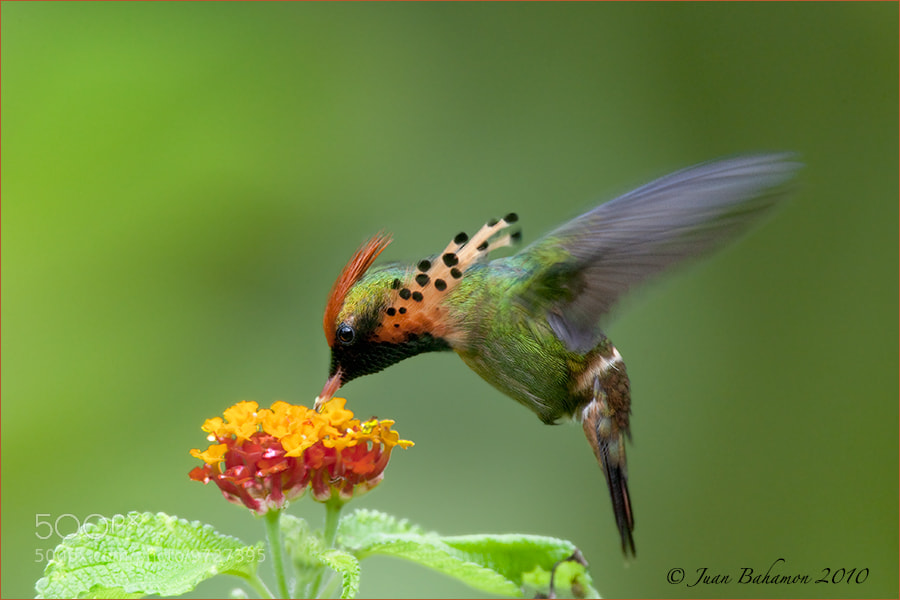 Photograph Tufted Coquette by Juan Bahamon on 500px