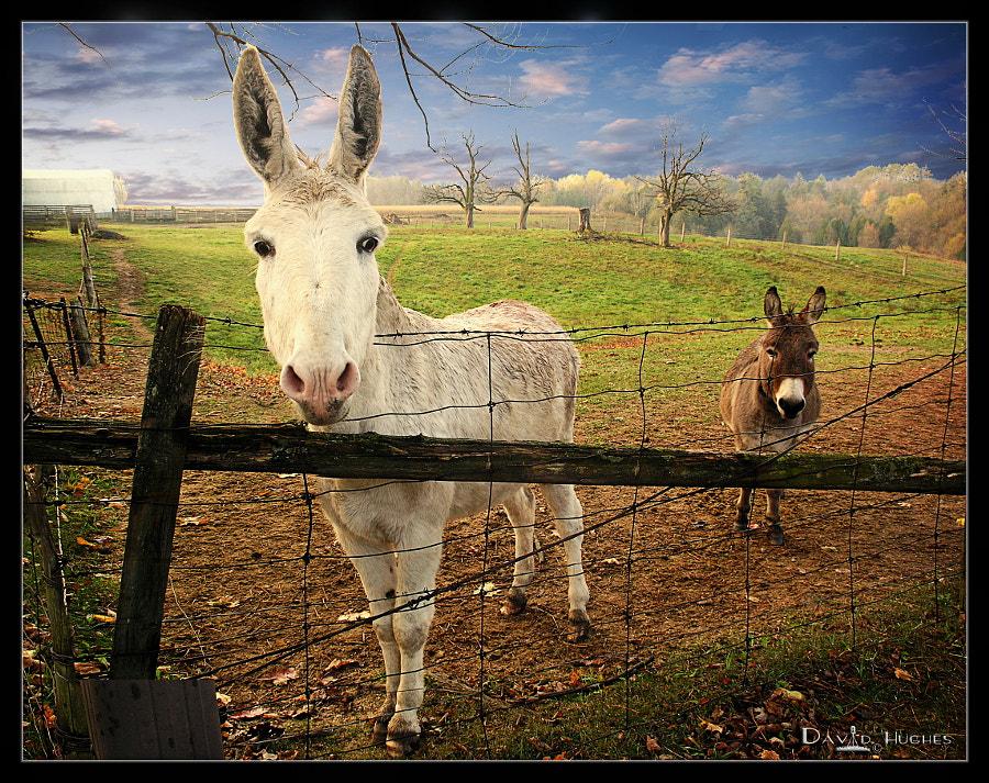Donkey & Burro