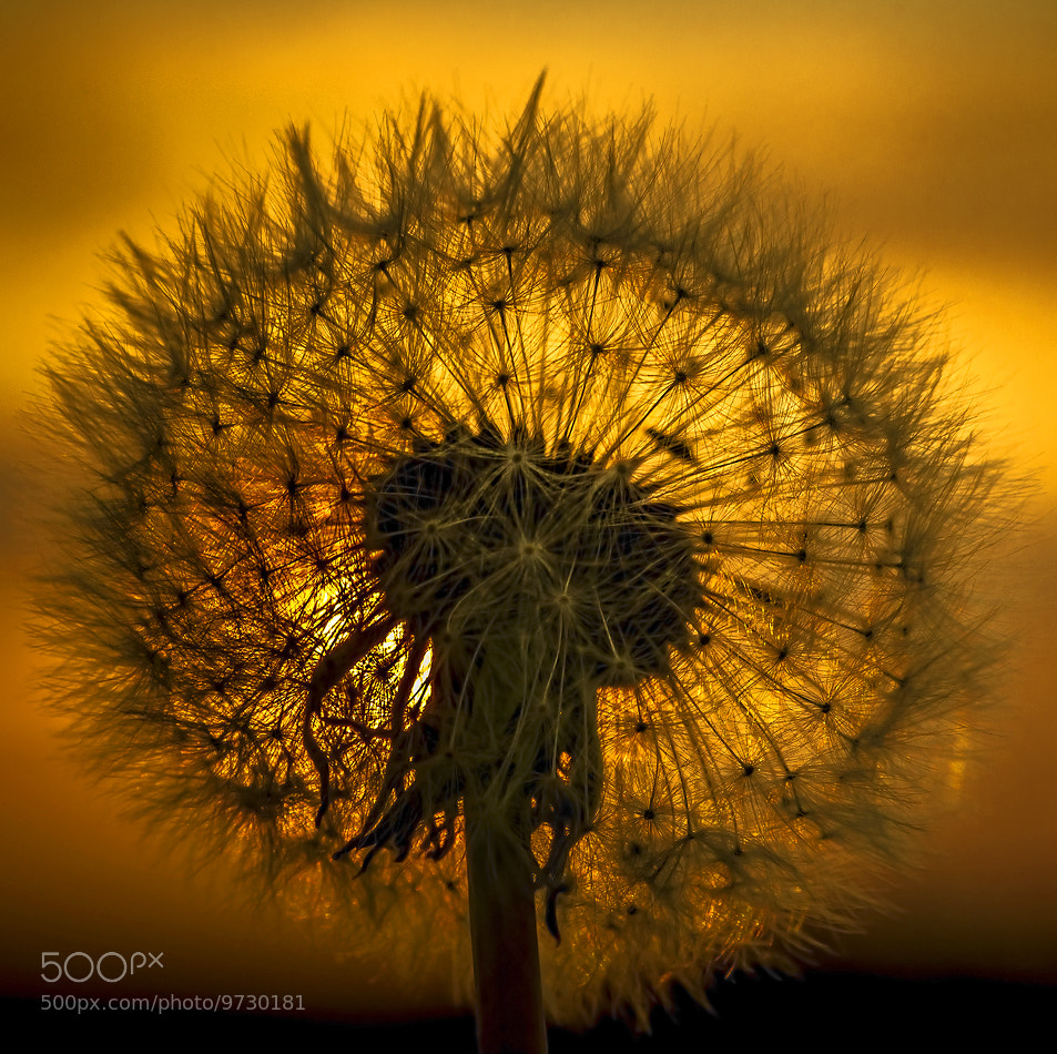 Photograph Dandelion in backlight by petersamuelsson.se  on 500px