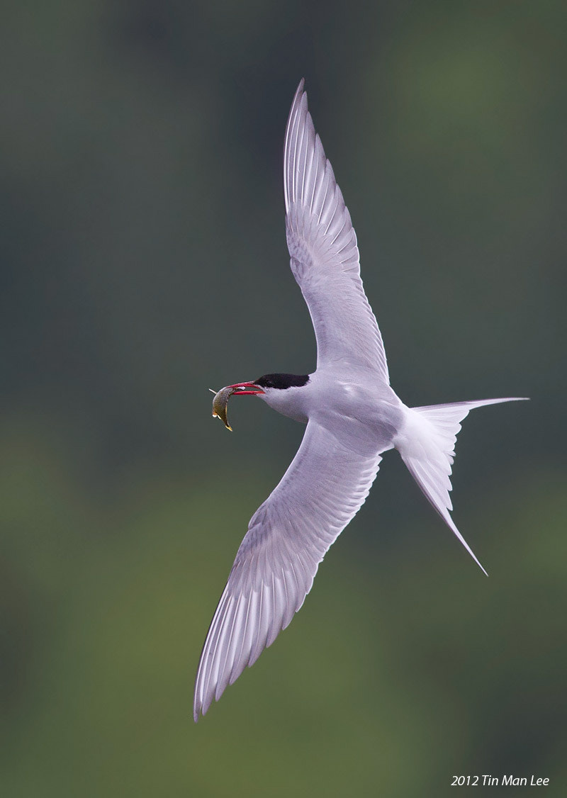 Photograph Arctic Tern Banking with Fish by Tin Man on 500px