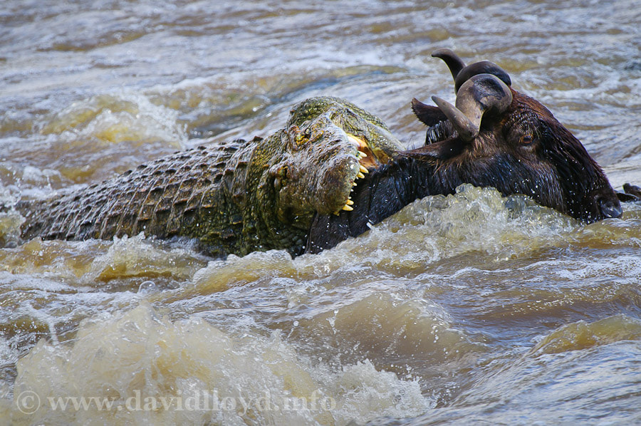 Photograph Crocodile Chase by David Lloyd on 500px