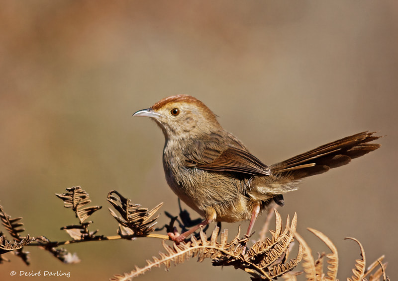 Photograph Lazy Cisticola by Desiré Darling on 500px