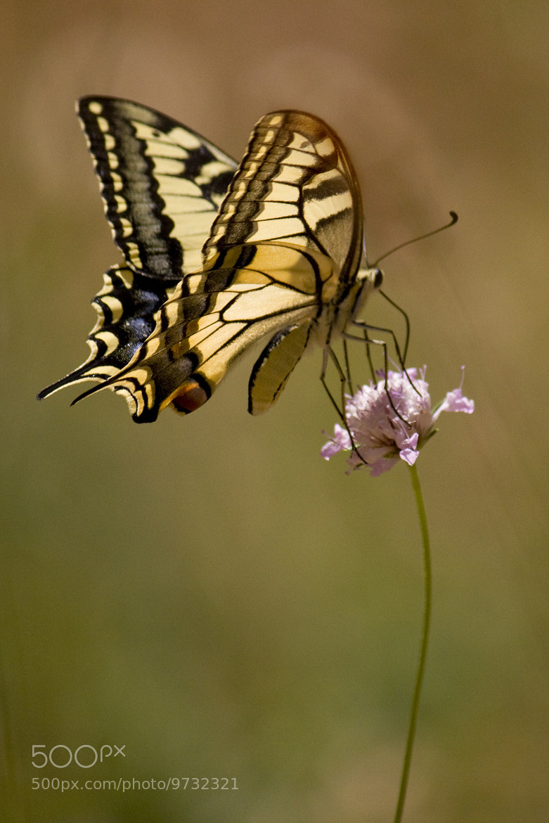 Photograph Swallowtail by Tim Brook on 500px