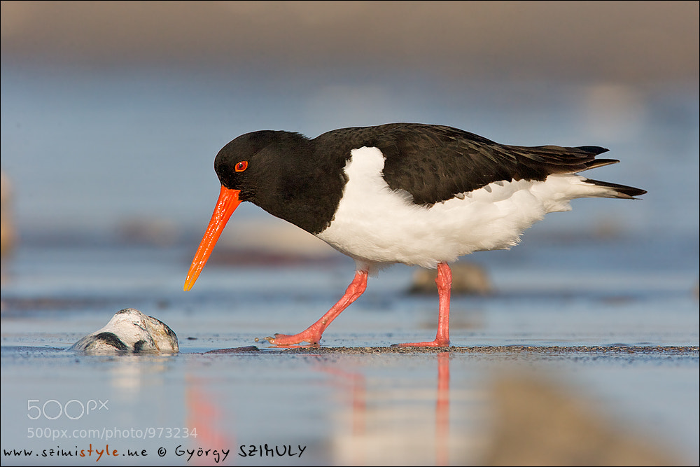 Photograph Eurasian Oystercatcher (Haematopus ostralegus) by Gyorgy Szimuly on 500px