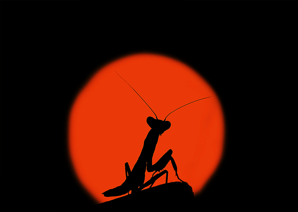 Photograph mantis in the sunset by Omid Golzar on 500px