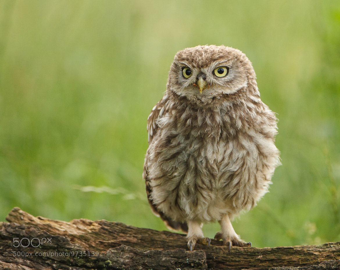 Photograph Little Owl (juvenile) by John Starkey on 500px