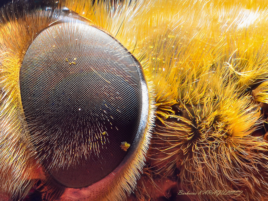 Photograph Bee eye. by Barbaros Karagülmez on 500px