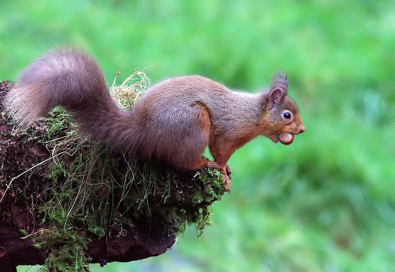 Photograph Red Squirrel by John Mc Fall on 500px