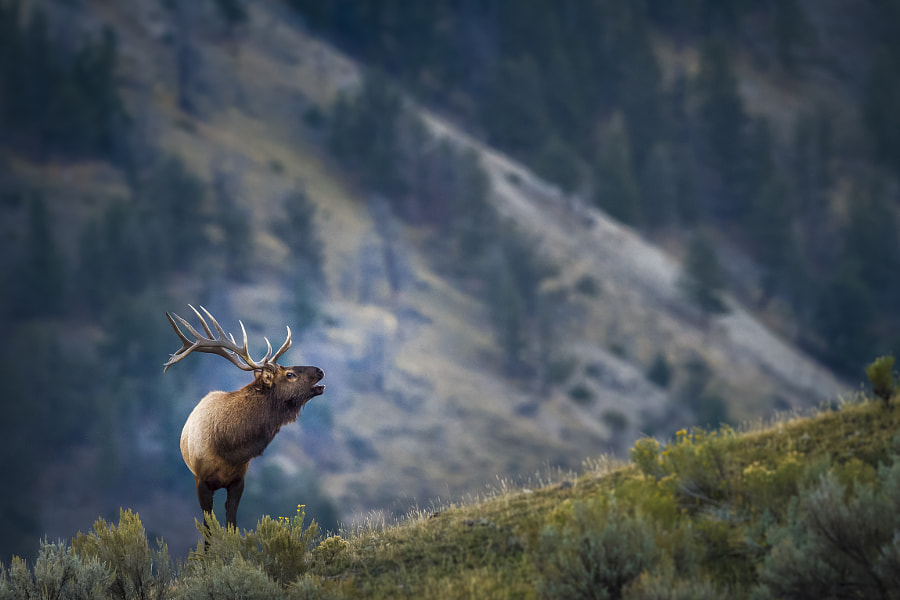 Photograph Bull Elk: making long distant call by Bedobe on 500px