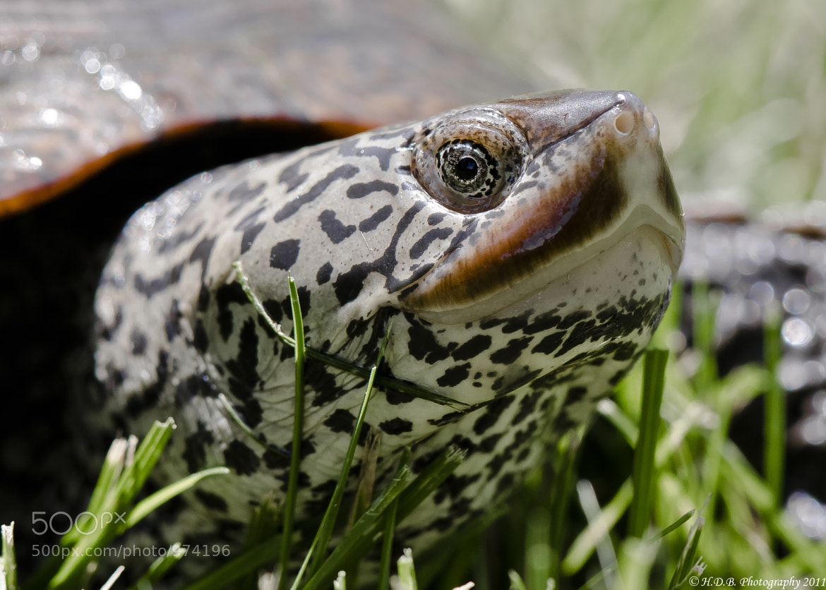 Photograph Terrapin by Harold Begun on 500px