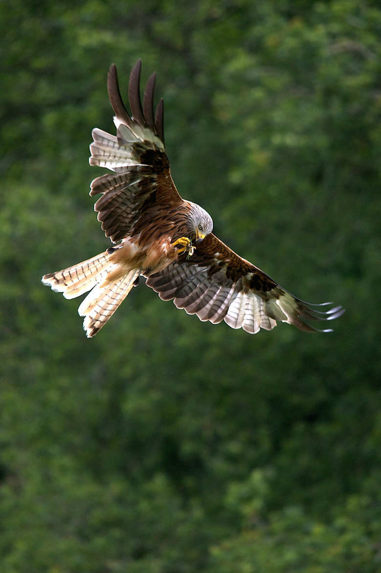 Photograph red kites by John Eaton on 500px