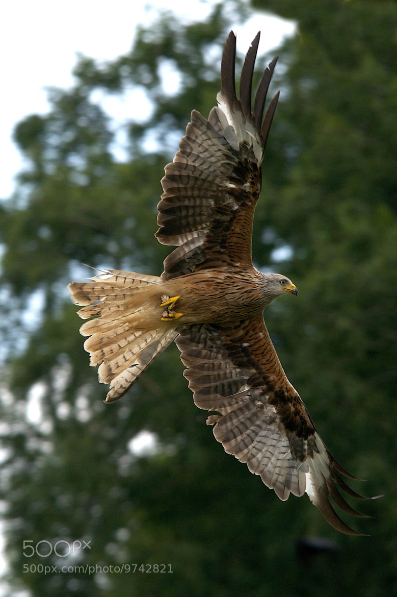 Photograph red kite by John Eaton on 500px