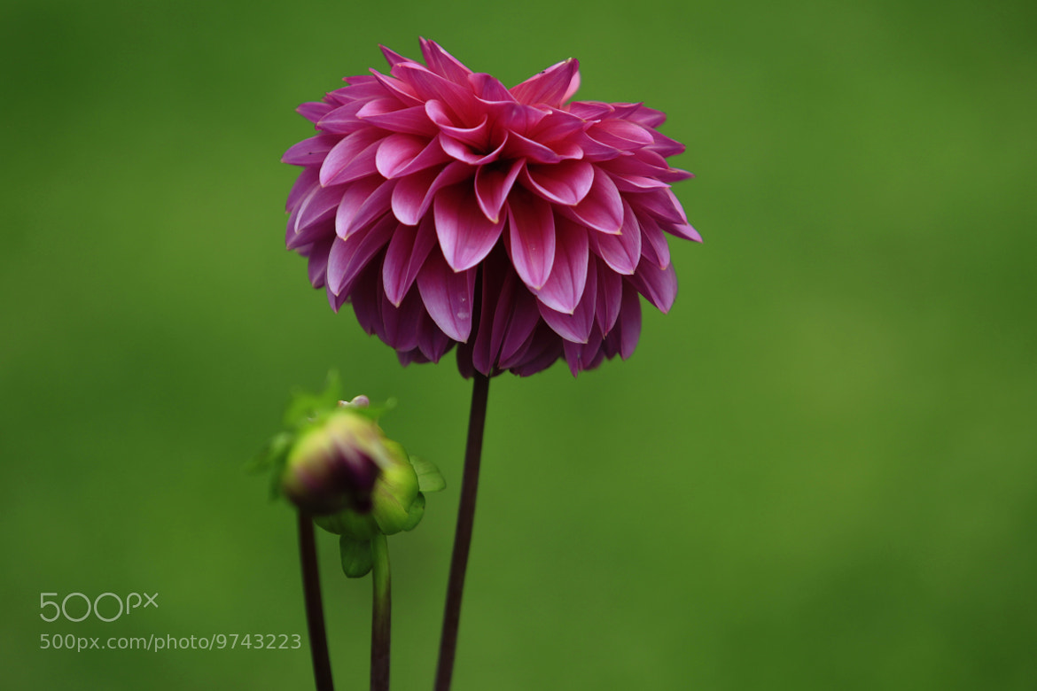 Photograph Pink Dahlia by Cristobal Garciaferro Rubio on 500px