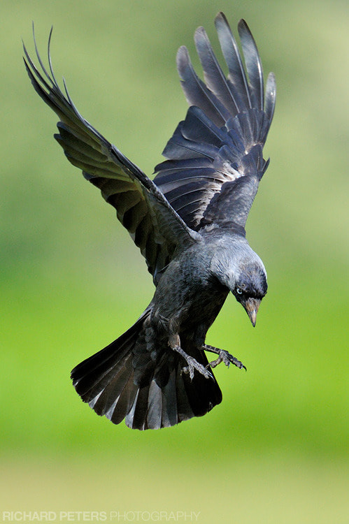 Photograph Jackdaw in Flight by Richard Peters on 500px