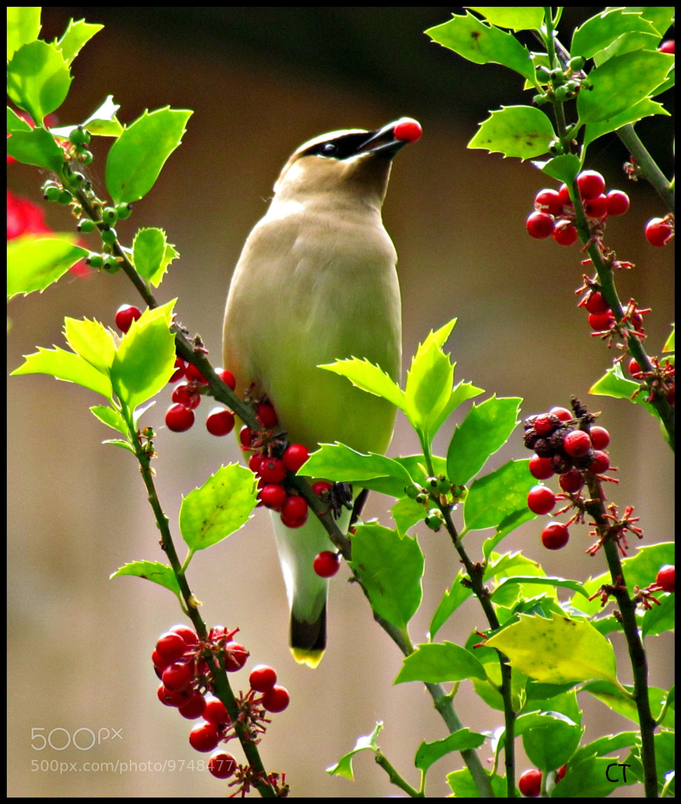 Photograph Another Waxwing! by colleen thurgood on 500px